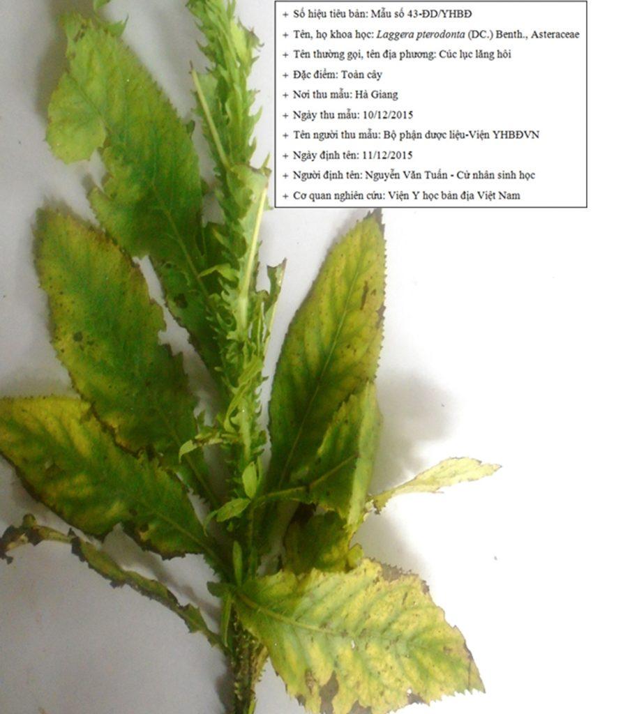 Cúc lục lăng - Loại cây quý có tác dụng hỗ trợ điều trị viêm phế quản được các nhà khoa học đánh giá cao - ảnh 3