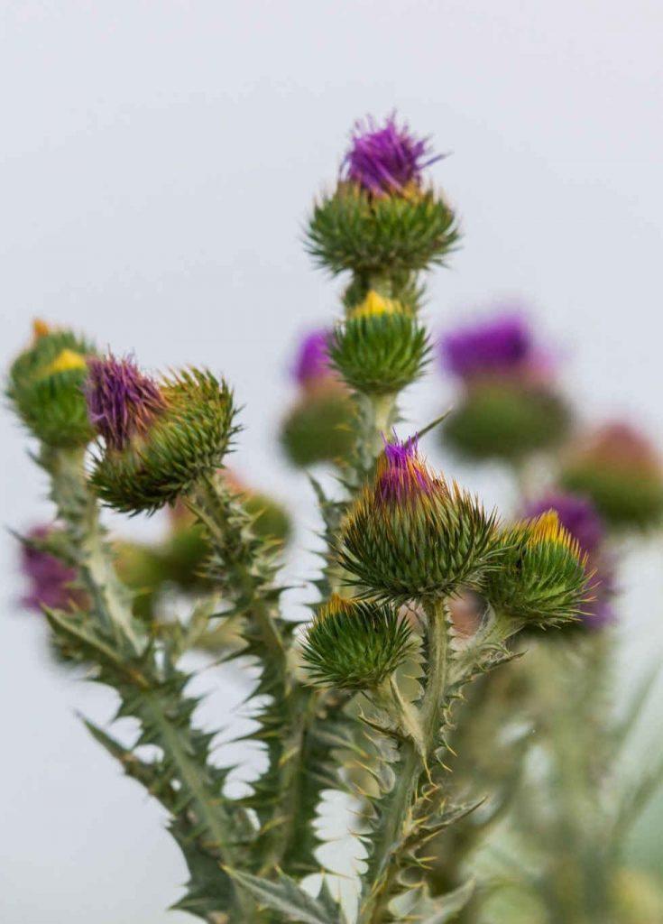 Cúc lục lăng - Loại cây quý có tác dụng hỗ trợ điều trị viêm phế quản được các nhà khoa học đánh giá cao - ảnh 2