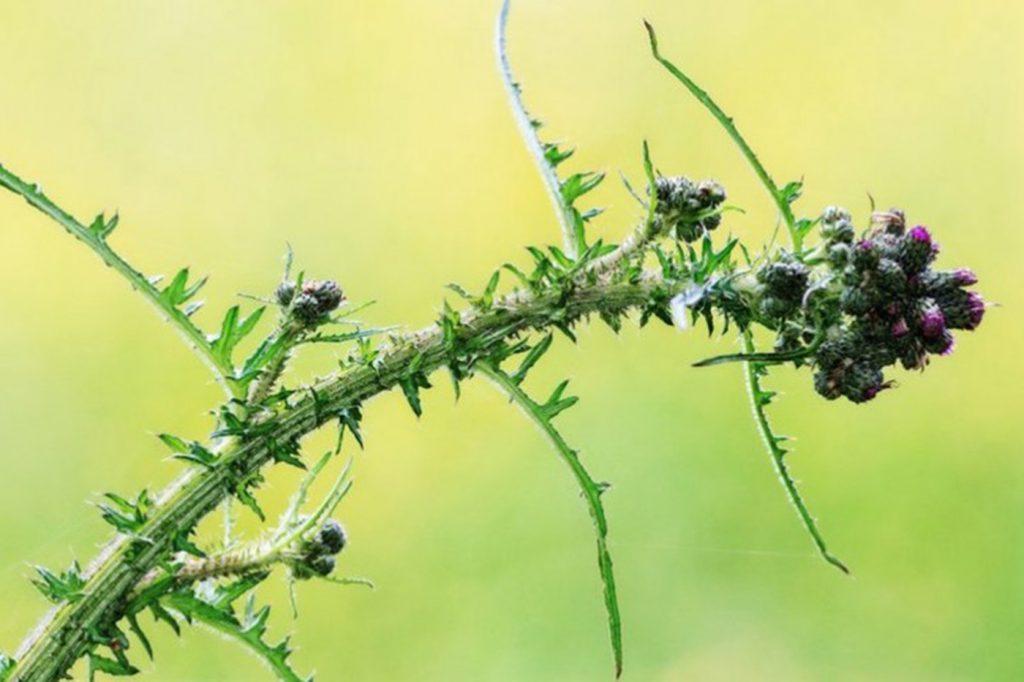 Cúc lục lăng - Loại cây quý có tác dụng hỗ trợ điều trị viêm phế quản được các nhà khoa học đánh giá cao - ảnh 4